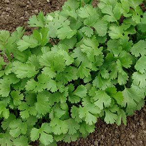 coriange plante medicinale