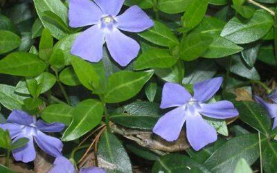 Quelle plante pour soigner les acouphènes ?